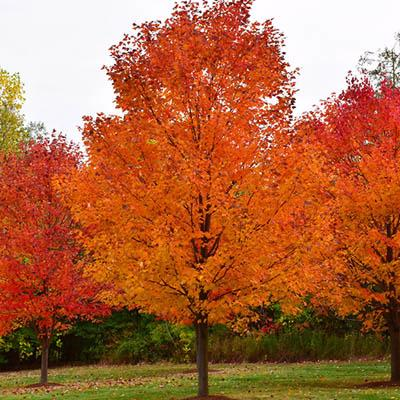 Commemoration® Sugar Maple