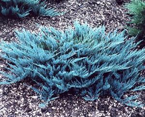 Blue Rug Juniper Juniperus Horizontalis Wiltonii
