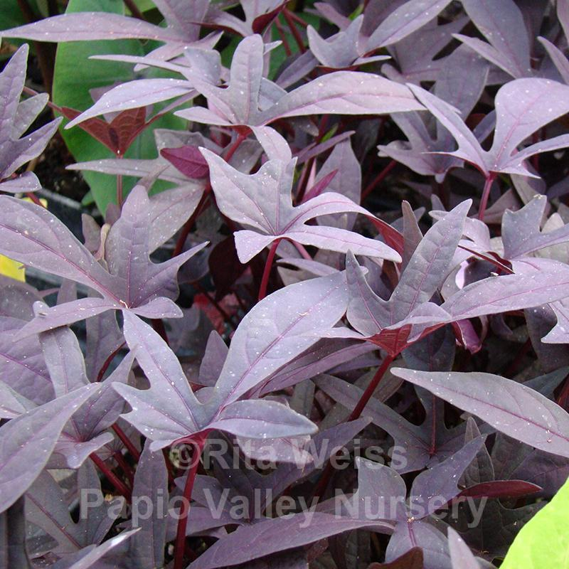 Little Blackie Sweet Potato Vine