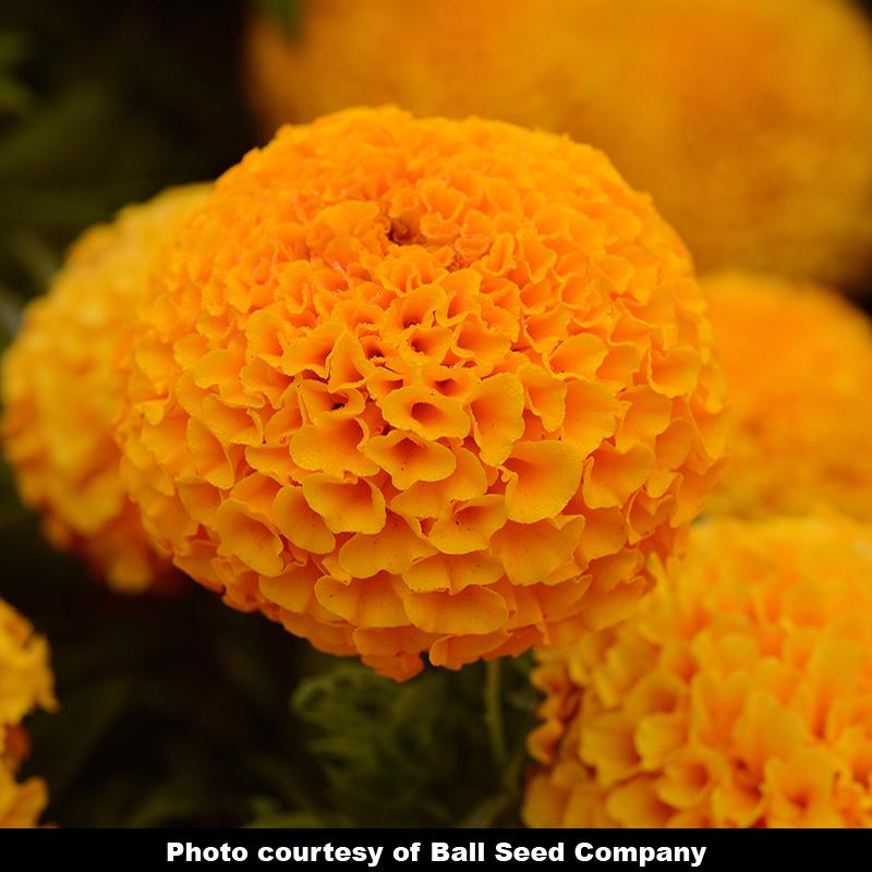 'Taishan Orange' Marigold