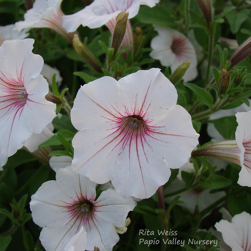 Supertunia® Vista Silverberry