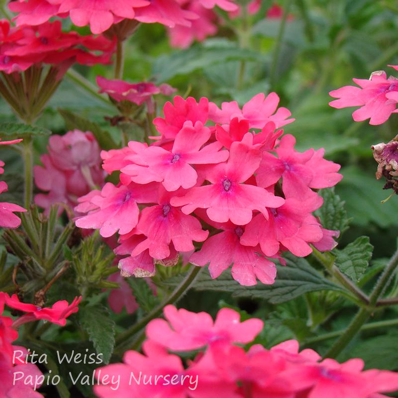 Superbena® Coral Red Verbena