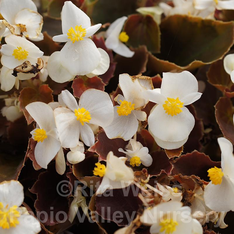 Bronze Leaf White Begonia