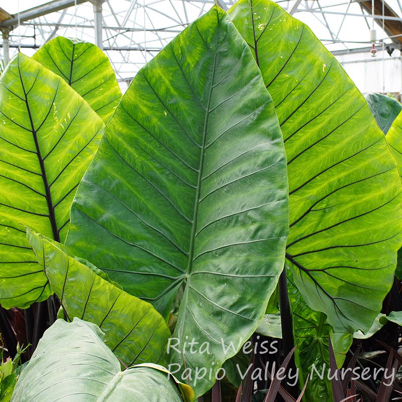 Black Stem Elephant Ear