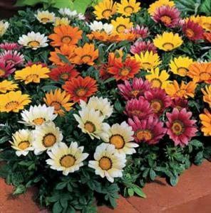 Kiss Mix Gazania