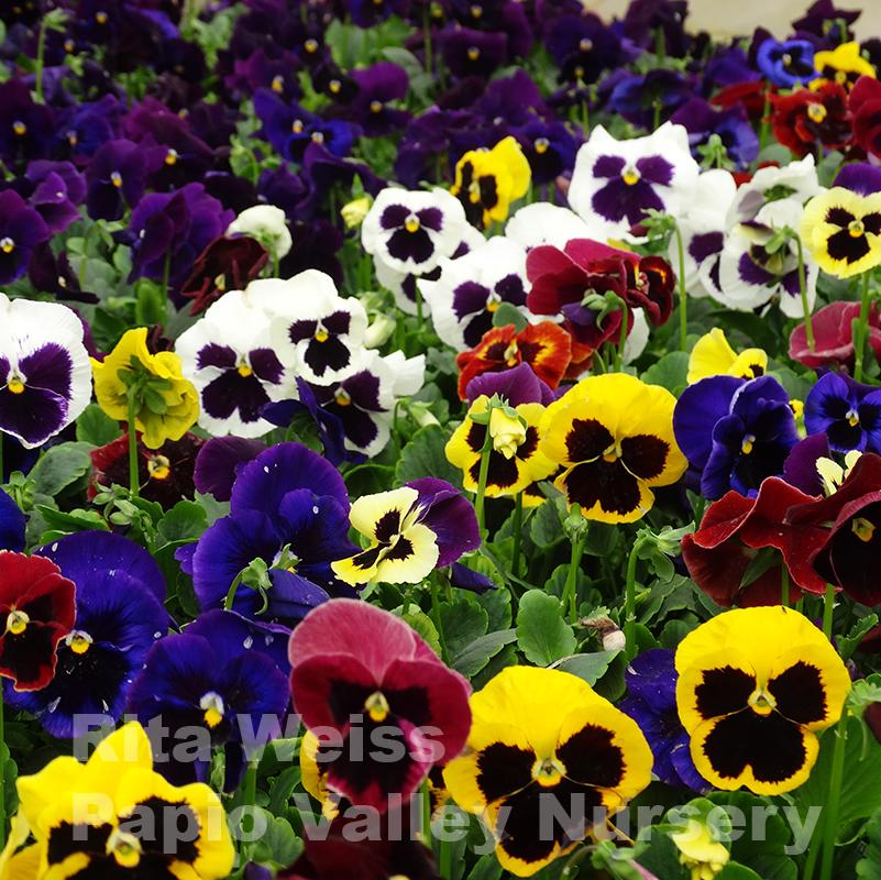 Blotch Mix Pansy