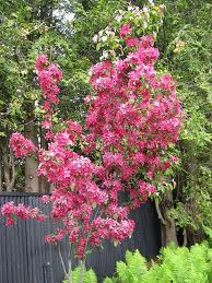 Red Baron Crabapple