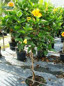 Tropical Hibiscus Tree Form