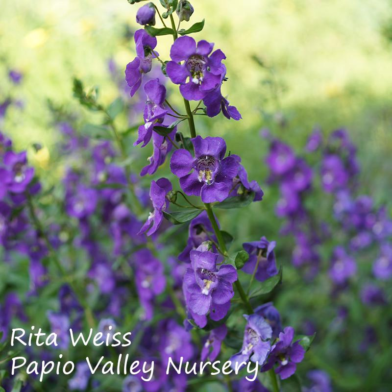 Angelface® Blue Angelonia