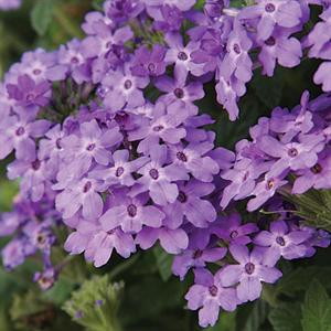 Superbena® Royale Chambray Verbena