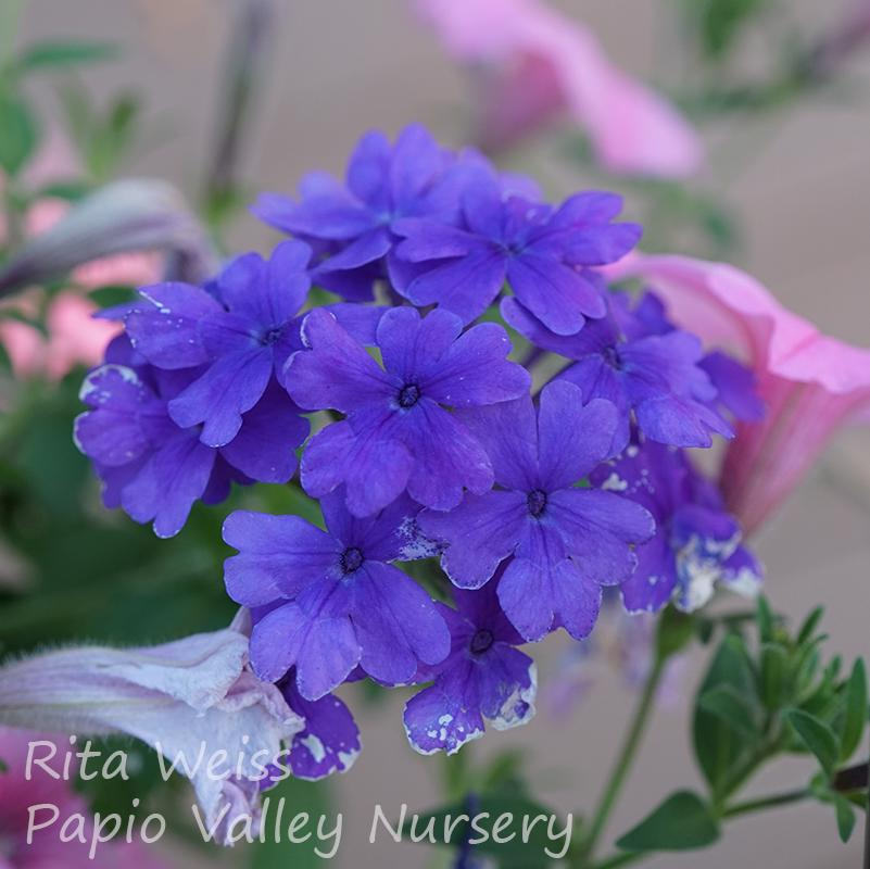 Superbena® Dark Blue Verbena