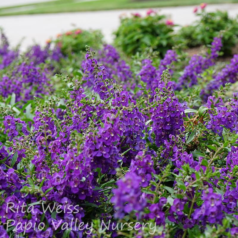 AngelMist® Purple Angelonia