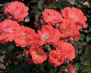 Drift® Coral Rose