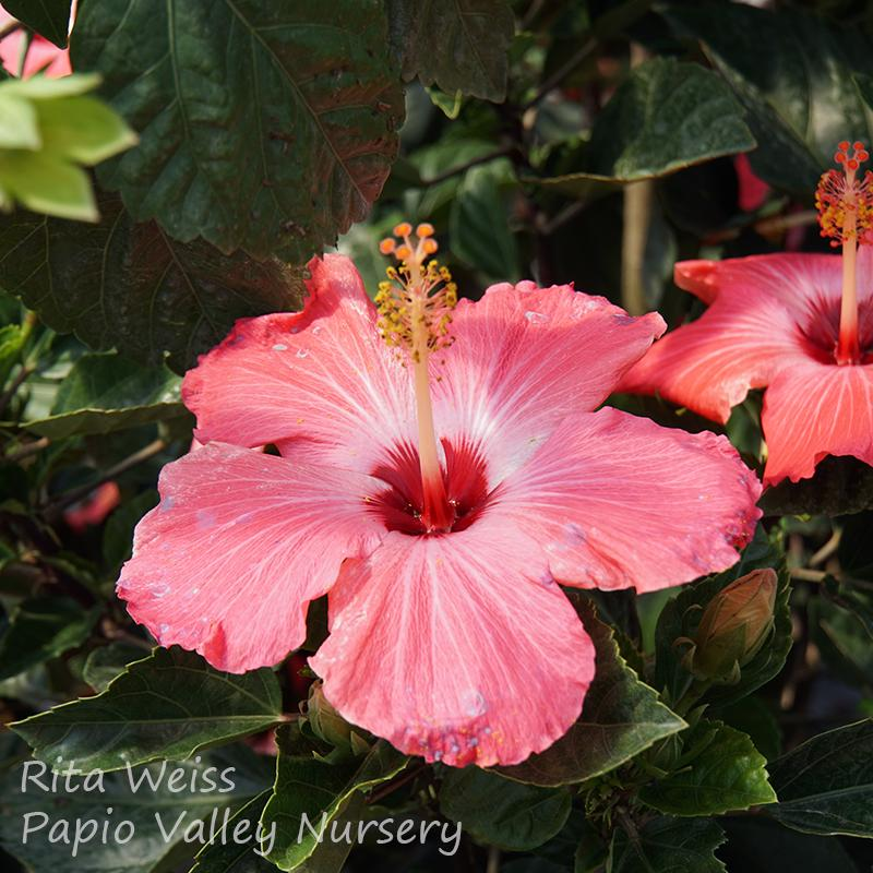 Tropical Hibiscus Shrub