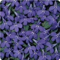 'Waterfall Blue' Lobelia