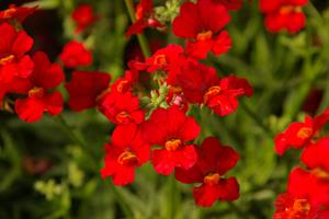Nessie Plus Red Nemesia