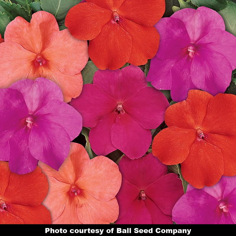 Voodoo Too Mix Impatiens