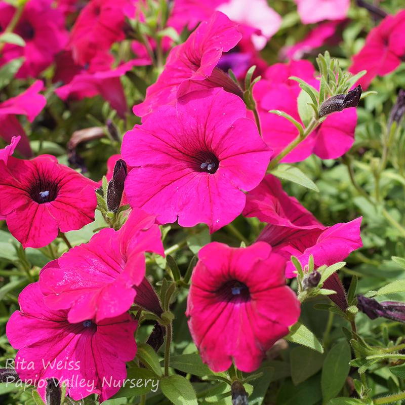 Supertunia Royal Magenta Petunia