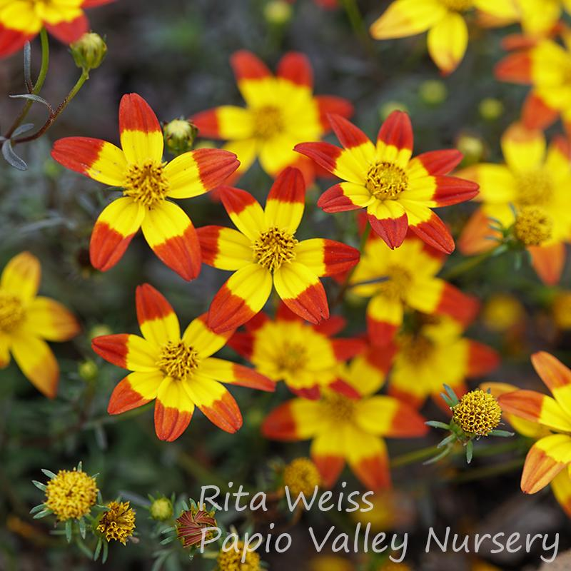 'Beedance Painted Red' Bidens