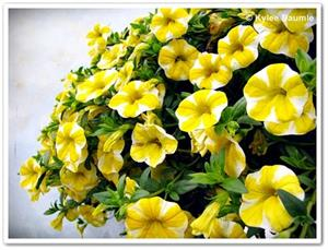 'Lemon Slice' Superbells Calibrachoa