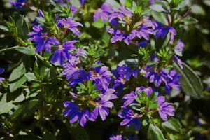 'Scalora Fancy Saphira Blue' Scaevola