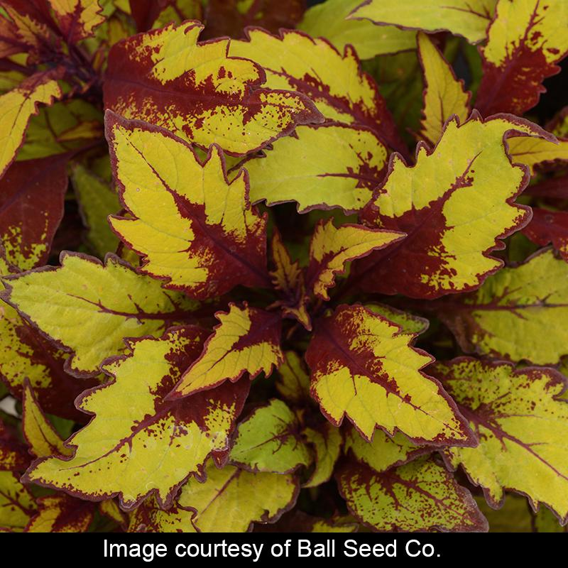 'Spiced Curry' Coleus