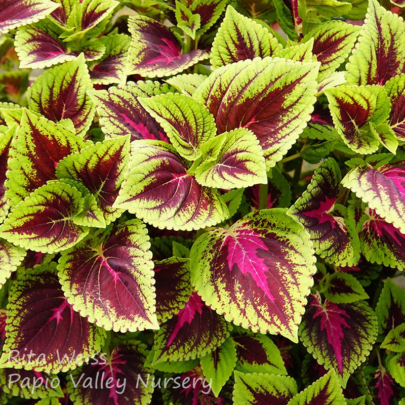 'French Quarter' Coleus