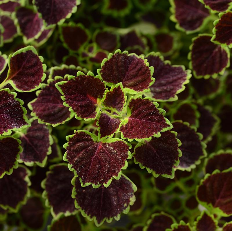 'Burgundy Wedding Train' Coleus
