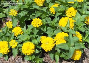 'Magellan Yellow' Zinnia
