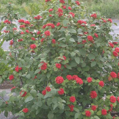 Red Balloon® Viburnum